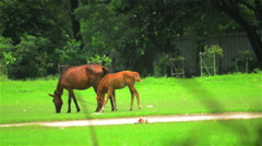 A wide shot of mare and pony grazing green grass. Stock Footage