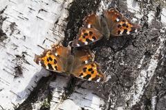 Vanessa atalanta butterfly Kuvituskuvat