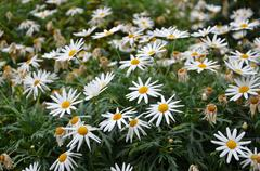 Marguerite daisies - stock photo