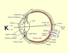 Human Eye structure - stock illustration