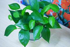 Devil's ivy plant, Scientific name : Ivy-Arum,Golden pothos, Hunter's-robe - stock photo
