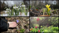 Snowdrop saffron violet and tulip flowers. Clips collage Stock Footage