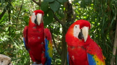 Two Scarlet Macaw Parrots - stock footage