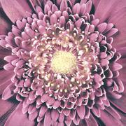 Macro Pink Gerber Flower Center Vintage Retro Stock Photos