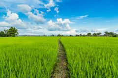 paddy rice and rice field with blue sky - stock photo