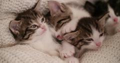 Kitten amongst it's siblings in a warm blanket - stock footage