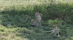 Cheetah's together in shade Stock Footage