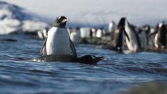 Gentoo penguins in the water of Antarctica Stock Footage