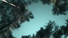 Tops of pine trees sway in wind and sun's as brocade Stock Footage