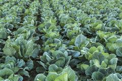 Stock Photo of Cabbage field.