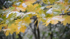 Yellow maple leaves in  snow - stock footage