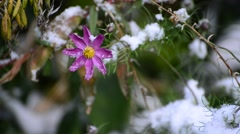 Flowers of chamomile and yellow leaf under first snow - stock footage