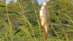 Very beautiful fish Rudd -  aesthetic pleasure of fishing Stock Footage