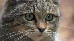 Wild cat in germany Stock Footage