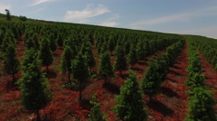 Aerial shot of Christmas tree farm Stock Footage
