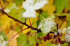 colourful redcurrant bush in autumn with snow macro photo - stock photo