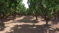 Hazelnut orchard - stock footage