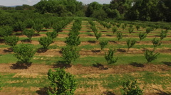 Aerial shot of hazelnut trees on farm - stock footage