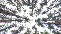 Slow Pan down from forest canopy in tall pines Stock Footage