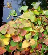 Chameleon plant with variegated fall leaves Stock Photos