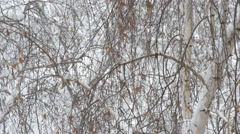 Snow falls on background of leafless birch tree crown in winter - stock footage