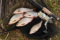 Catching freshwater fish and fishing rods with fishing reel. Stock Photos