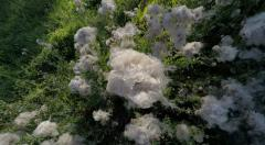 Moving shot over thistle cotton grass in Stockholm Stock Footage