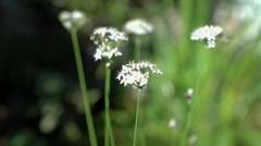 Garlic Chive Flowers - stock footage