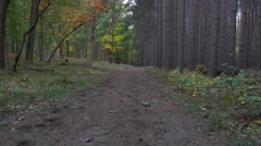 Stabilized shot walking down Autumn trail lined by tall pines 4k - stock footage