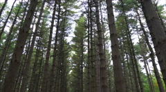 Pan down to amazing trail through middle of tall pines Stock Footage