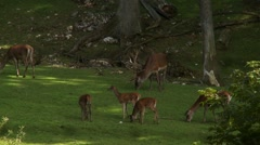 Deer family herd graze on grass in a German forest - stock footage