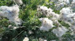 Cotton wool like seeds on thistles in summer breeze Stock Footage