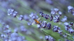Honey bee and lavender in slow motion, shot on Phantom Flex 4K Stock Footage