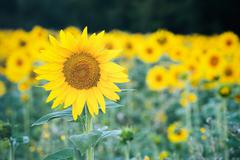 Farming - Sunflower Field - stock photo
