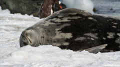 Weddell seal sleeping Stock Footage