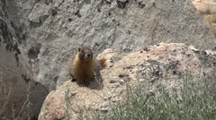 Wild Marmot on Granite Boulder with Weeds Turns HD Stock Footage
