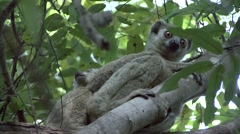 Western Avahi family in tree during the day 1 Stock Footage