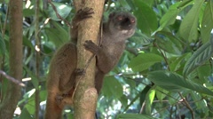 White-fronted Brown Lemur female in tree looking around - stock footage