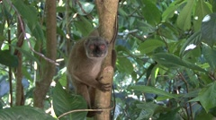 White-fronted Brown Lemur female in tree looking around 1 Stock Footage