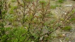 Stock Video Footage of Common wormwood, Artemisia vulgaris