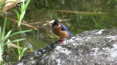 Malagasy Kingfisher sit on stone 2 Stock Footage