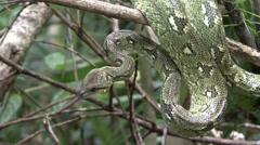 Malagasy tree boa curled up in tree 2 Stock Footage