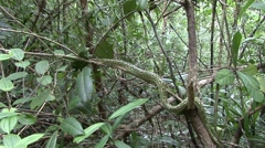 Malagasy tree boa move in tree Stock Footage