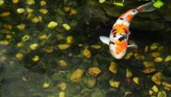 Koi carp swimming in a pond Stock Footage