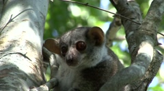 Milne's Edwards's Sportive Lemur hang on tree trunk during day looking around Stock Footage