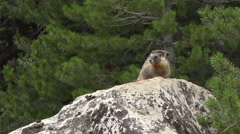 Two Marmots on a Rock One Runs Off HD Stock Footage