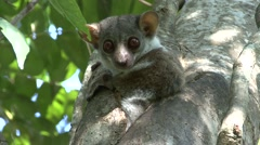 Milne's Edwards's Sportive Lemur looking out of nesting hole during the day Stock Footage