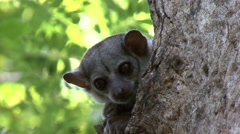 Milne's Edwards's Sportive Lemur looking out of nesting hole during the day 2 Stock Footage