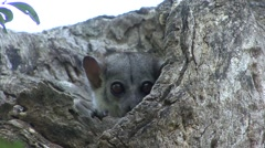 Milne's Edwards's Sportive Lemur looking out of nesting hole during the day 3 Stock Footage