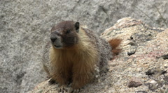 Panting Wary Marmot on a Rock Close HD Stock Footage